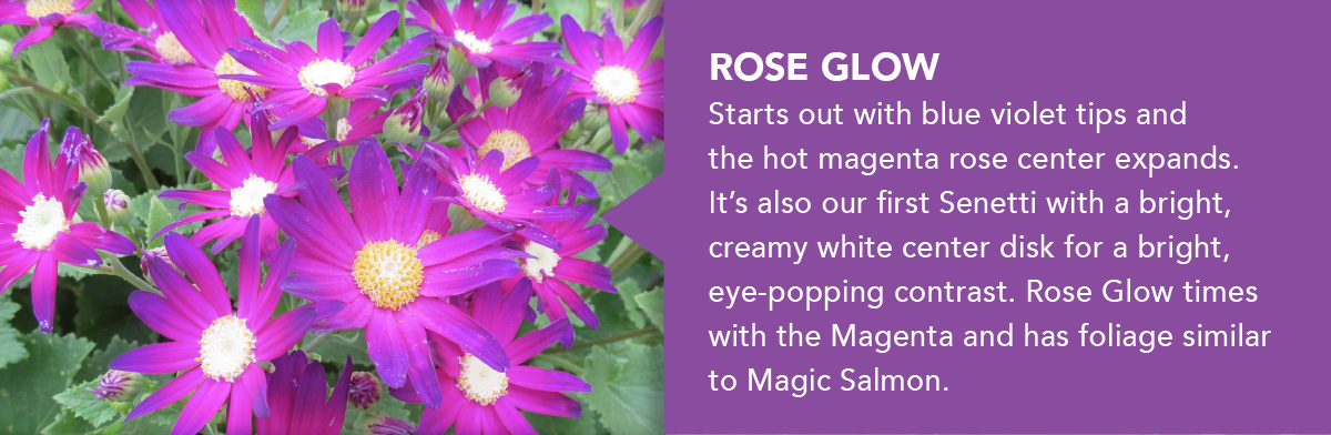 Senetti Rose Glow