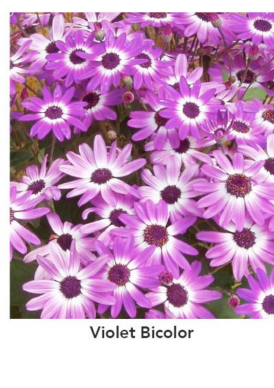 SENETTI Violet Bicolor