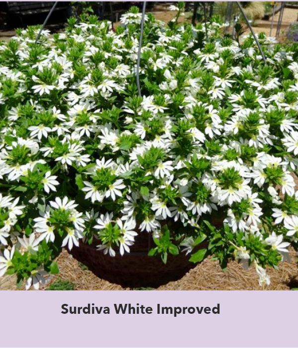 Surdiva White Improved
