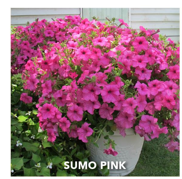 SURFINIA SUMO® Pink