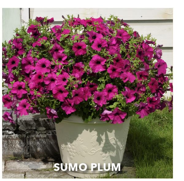 SURFINIA SUMO® Plum