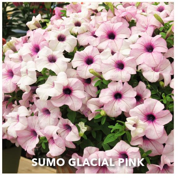SURFINIA SUMO® Glacial Pink