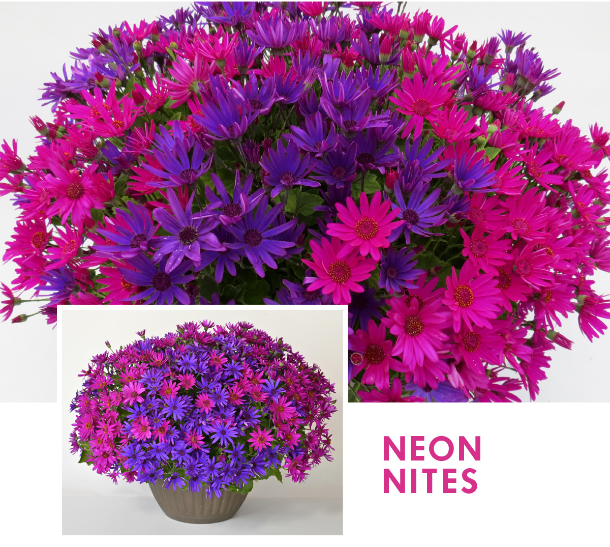 Senetti Neon Nites Mixer