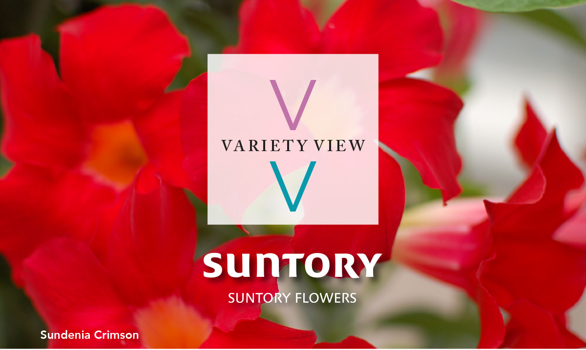 Suntory Flowers Variety View – Sundenia Dipladenia Advantages