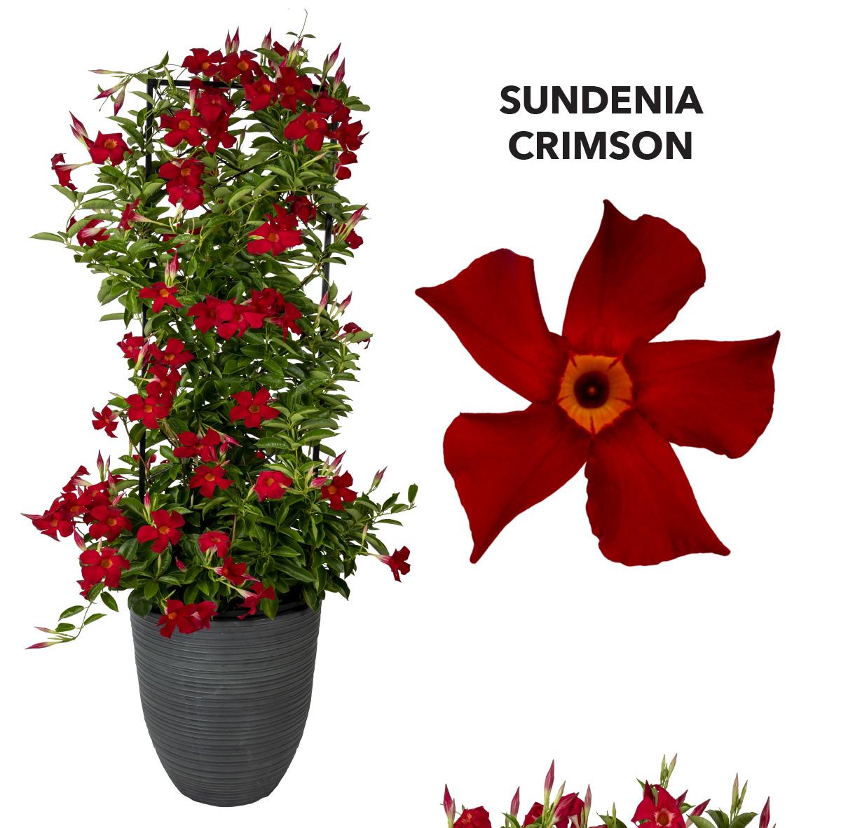 Dipladenia SUNDENIA® Crimson