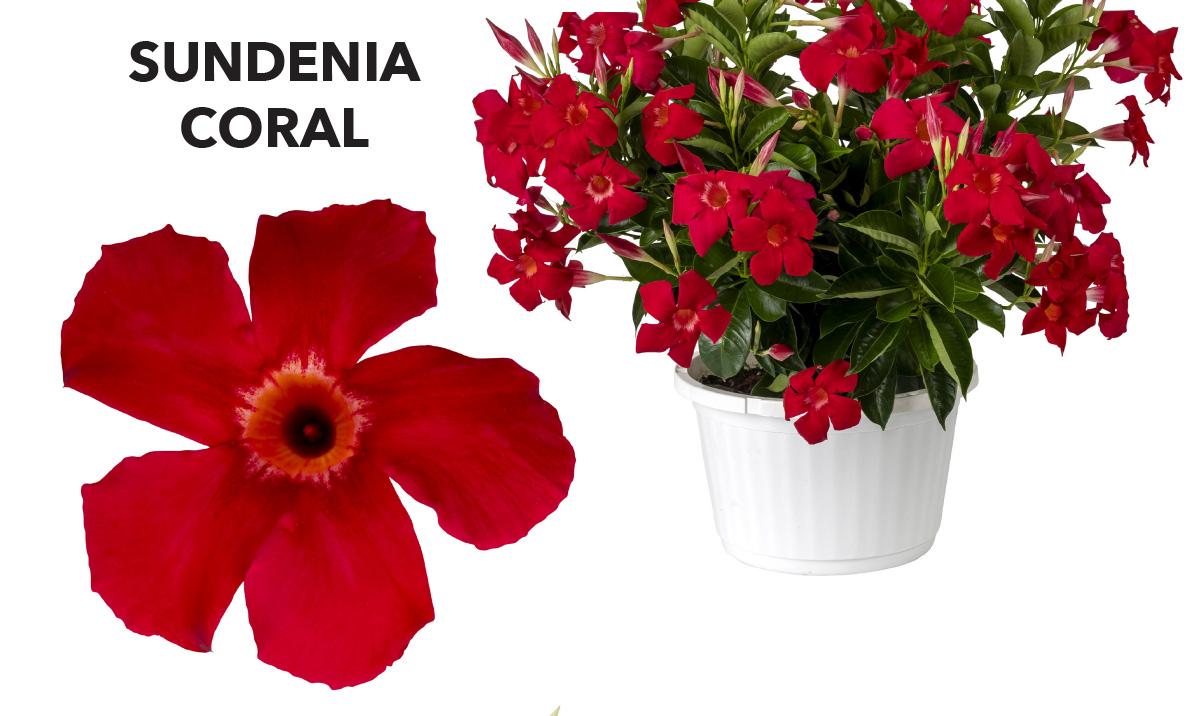 Dipladenia SUNDENIA® Coral