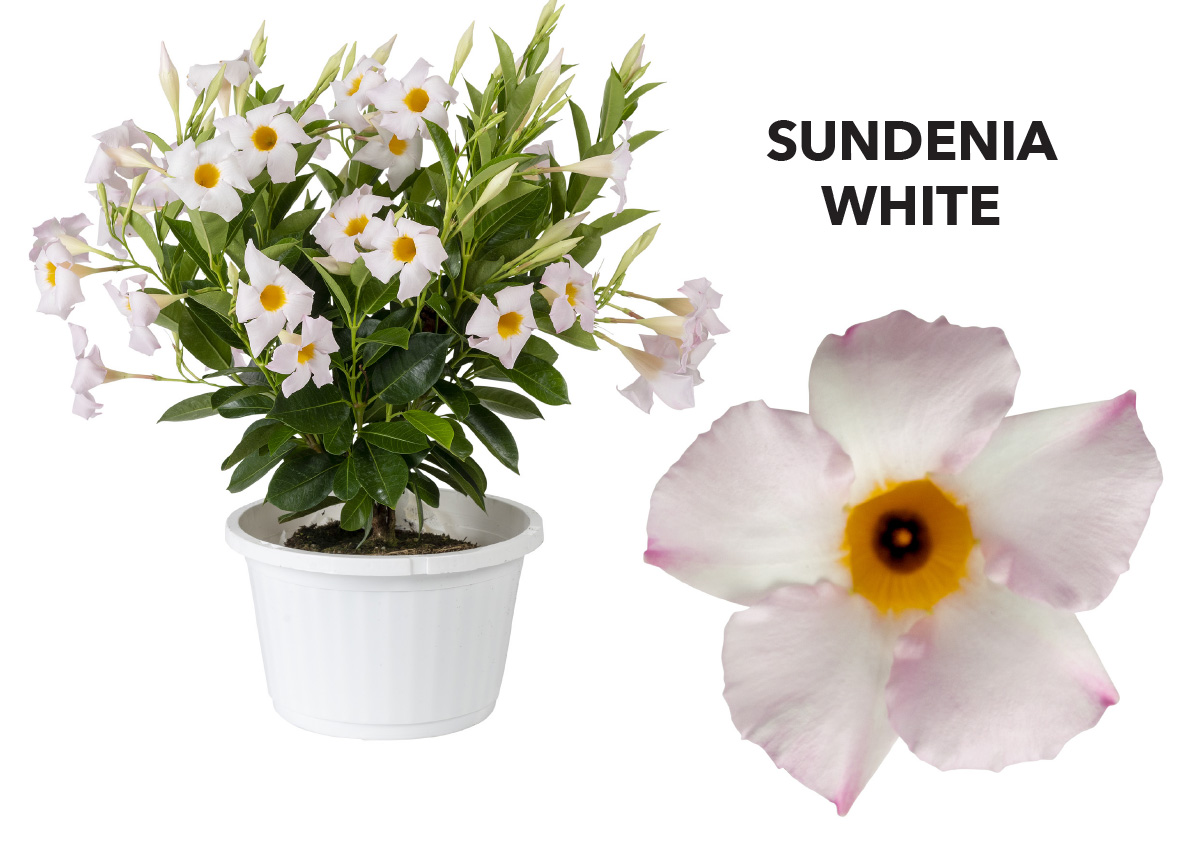 Dipladenia SUNDENIA® White