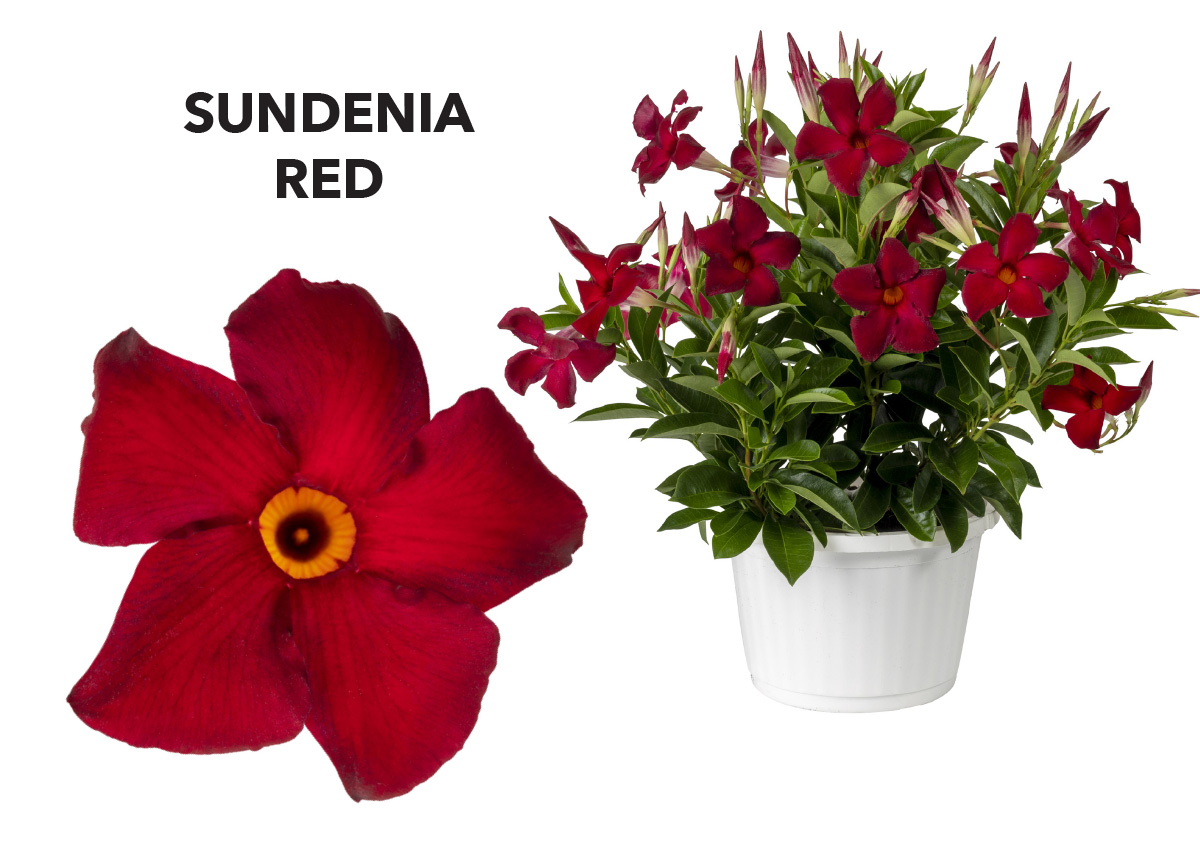 Dipladenia SUNDENIA®  Red