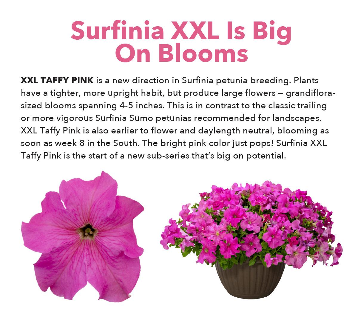 Surfinia XXL Taffy Pink