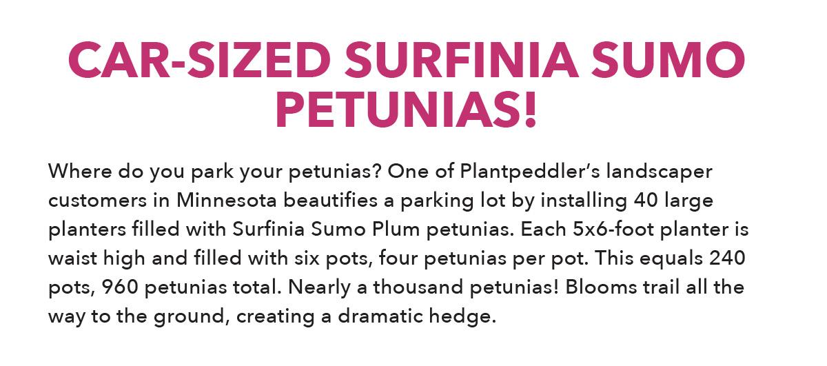 Surfinia Sumo Plum
