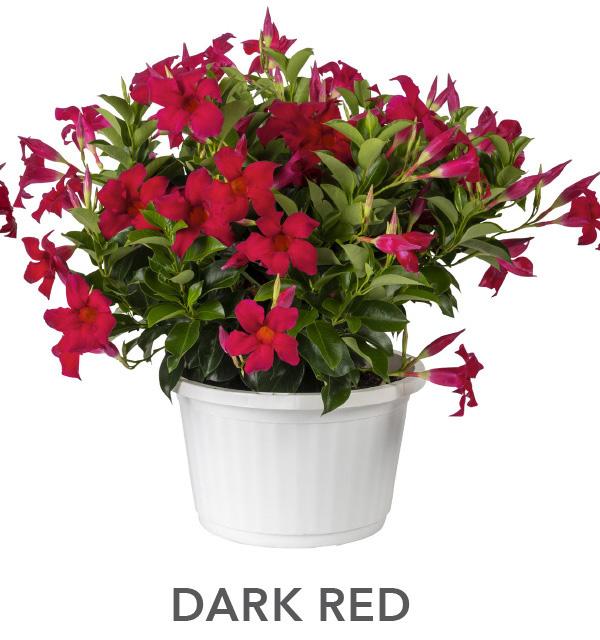 Sun Parasol Dark Red