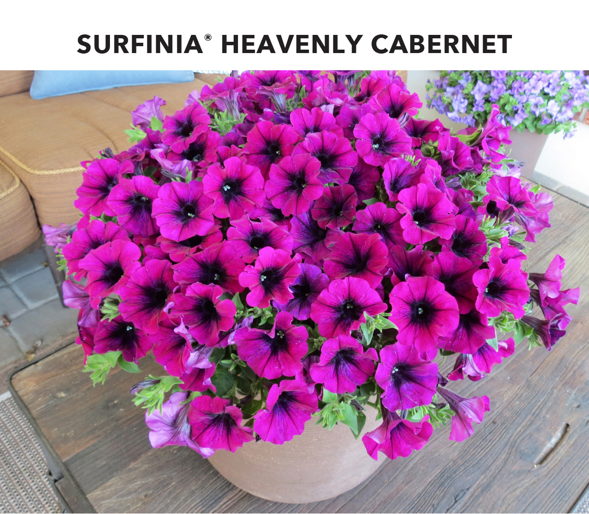 Surfinia Heavenly Cabernet blooms