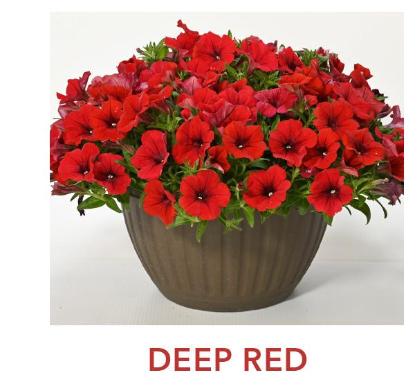 Surfinia Deep Red