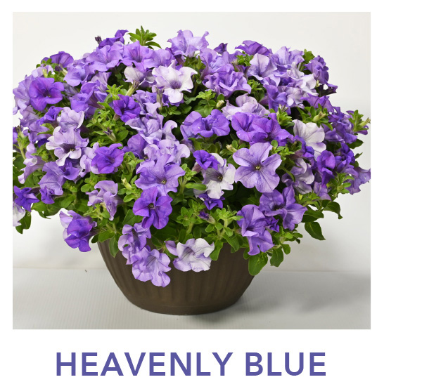 Surfinia Heavenly Blue