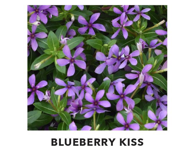 Blueberry Kiss