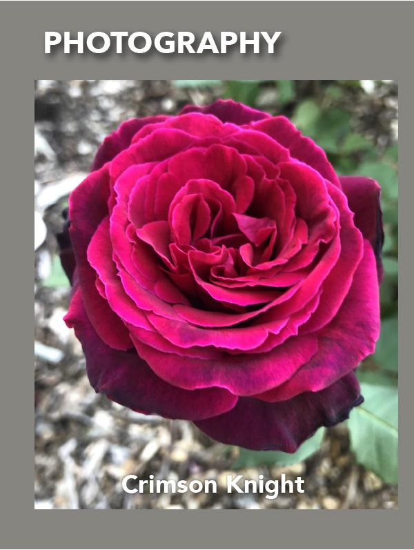 Brindabella Rose Crimson Knight
