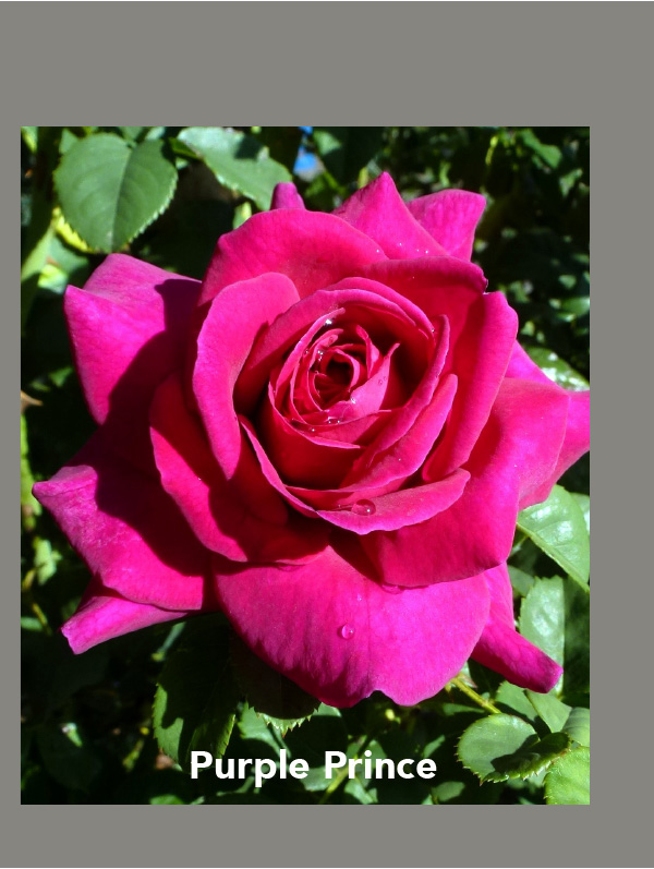Brindabella Rose Purple Prince