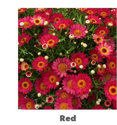 Madeira Red