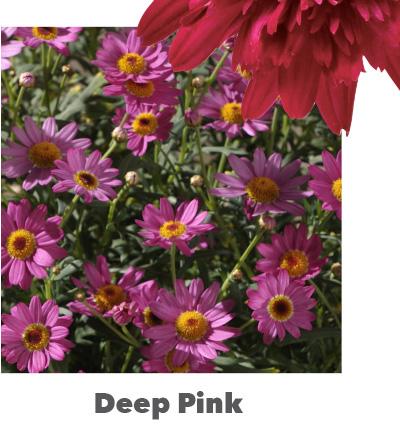 Madeira Deep Pink
