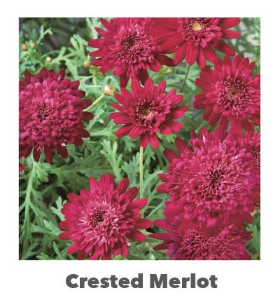 Madeira Crested Merlot